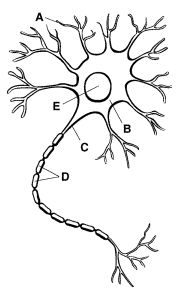 Otterspoor quiz omatic refer to the diagram identify the axon ccuart Gallery